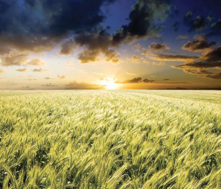 wheat_sheet_Web_image