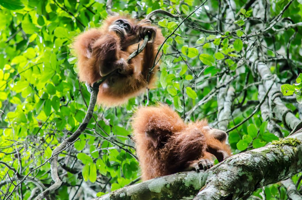 Orangutan_Indonesia_KSauve_DSC7224September 22, 2014